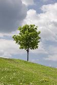 Зеленое поле и одинокое дерево — Стоковое фото