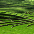 Rice terrace - Stock Photo