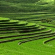 Rice terrace — Stock Photo #2933175
