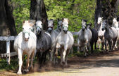 Lipizzan horses — Stock Photo