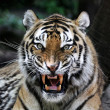 Angry tiger — Stock Photo #2973255
