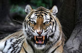 Angry tiger — Stock Photo