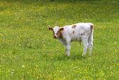 Calf — Foto de Stock