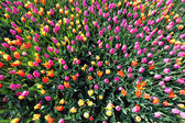Colorful tulips from above — Stock Photo