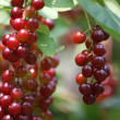 Stock Photo: Berries on Branch