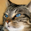 Blue-eyed Tabby Cat — Stock Photo