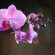 Stock Photo: Budding Pink Orchid