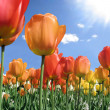Flame Colored Tulips — Stock Photo