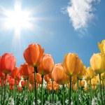 Flame Tulips2 — Stock Photo