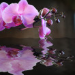 Stock Photo: Budding Pink Orchid Reflection