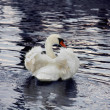 Ruffled Swan — Stock Photo