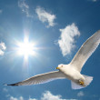 Seagull in Sunshine — Stock Photo