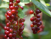 Berries on the Branch — Stock Photo