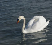 Ein weißer schwan 2 — Stockfoto