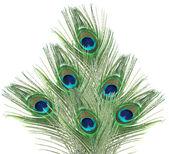 Peacock Fan — Stock Photo
