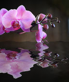 Budding Pink Orchid Reflection — Stock Photo