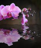Budding Pink Orchid Reflection — Stock Photo