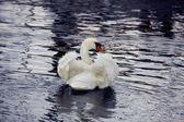 Ruffled Swan — Stock Photo