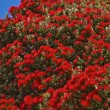 POHUTUKAWA TREE BLOSSOM - Stock Photo