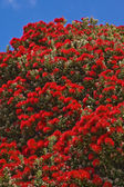 POHUTUKAWA TREE BLOSSOM — Stock Photo