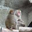 Japanese Macaque (Snow Monkey, Nihonzaru) - Stock Photo