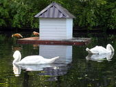 Two mute swans — Stock Photo