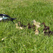 Muscovy Duck Family - Stock Photo
