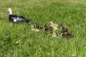 Muscovy Duck Family — Stock Photo