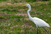Proud great white heron — Stock Photo