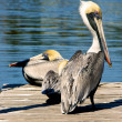 Two brown pelicans on dock — Foto Stock