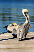 Two brown pelicans on dock — Stock Photo