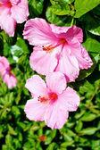 Two pink hyacinths — Stock Photo