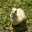 One duckling — Stock Photo