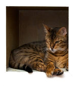 孟加拉猫在架子上 — 图库照片