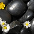 Daisy flowers on black stones — Stock Photo