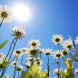 Daisy flower in summer with blue sky — Stock Photo