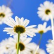 Daisy flower in summer — Stock Photo #2988993