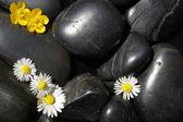 Madeliefjebloemen op zwarte stenen — Stockfoto