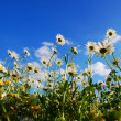 Daisy flowers in summer - Stock fotografie