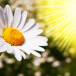 Daisy flower on a summer field - Stock fotografie
