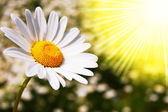 Fiore margherita su un campo estivo — Foto Stock