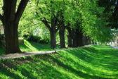 Summer tree alley — Stock Photo