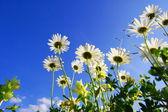 Daisy flower under blue sky — Stock Photo