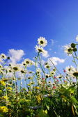 Daisy flowers in summer — Stock Photo
