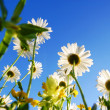 Daisy flower under blue sky — Stock Photo