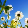 Daisy flower under blue sky — Stockfoto