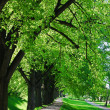 Summer tree alley — Stock Photo