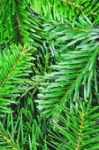 新鲜绿色 fir 分支 — 图库照片