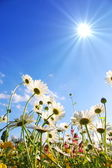 Blommor på ängen i sommar — Stockfoto