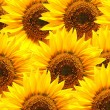 Sunflower background — Lizenzfreies Foto